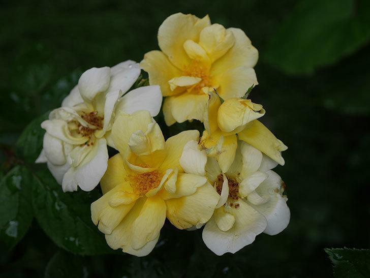 サニー ノックアウト(Sunny Knock Out)の花が増えてきた。木立バラ。2020年-012.jpg