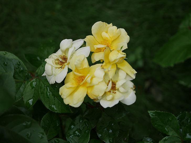 サニー ノックアウト(Sunny Knock Out)の花が増えてきた。木立バラ。2020年-014.jpg