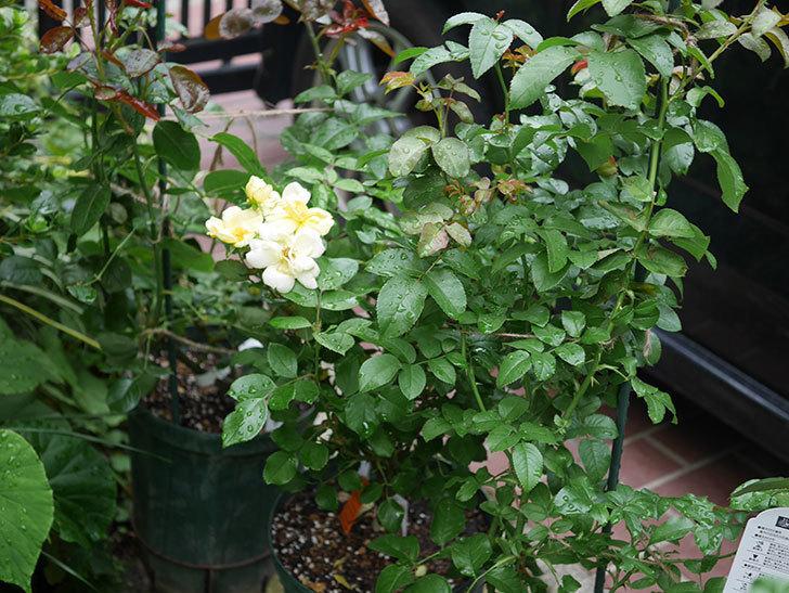 サニー ノックアウト(Sunny Knock Out)の花が増えてきた。木立バラ。2020年-016.jpg