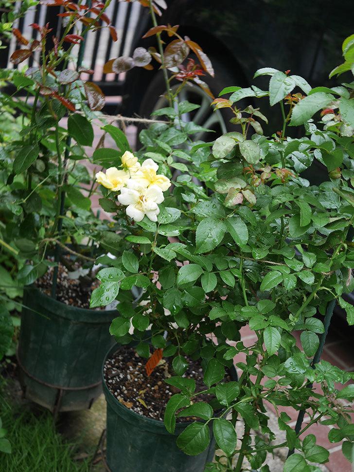 サニー ノックアウト(Sunny Knock Out)の花が増えてきた。木立バラ。2020年-018.jpg