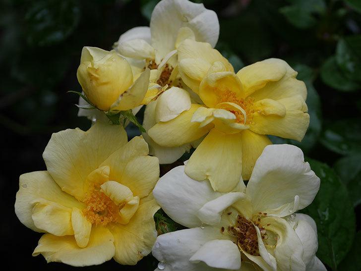 サニー ノックアウト(Sunny Knock Out)の花が増えてきた。木立バラ。2020年-019.jpg
