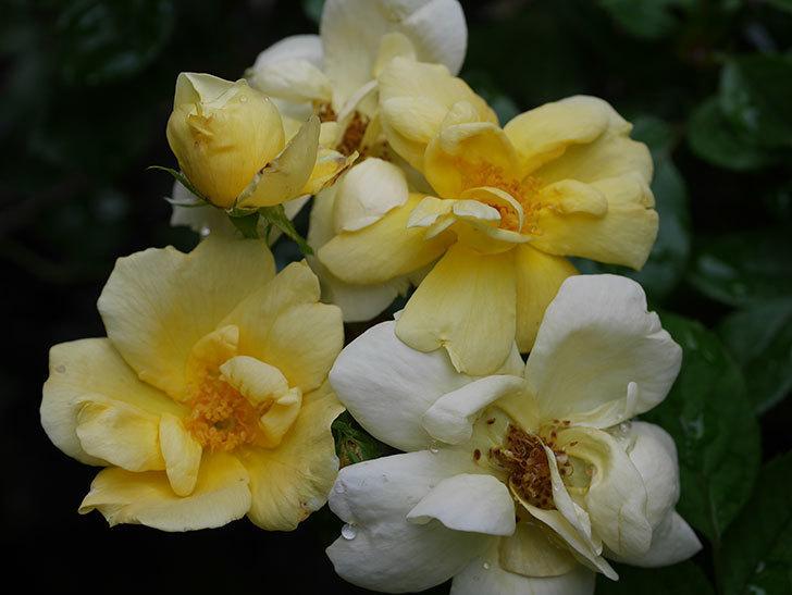 サニー ノックアウト(Sunny Knock Out)の花が増えてきた。木立バラ。2020年-020.jpg