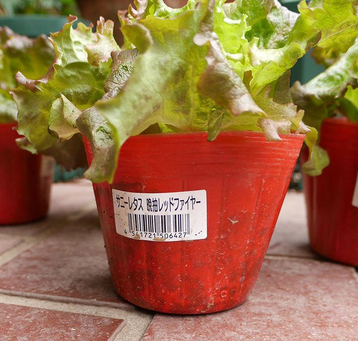 サニーレタス-レッドファイヤーの苗を4個ホームズで買って来た。2018年-3.jpg