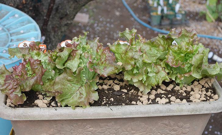 サニーレタスの苗を4個をプランターに植えた。2020年-1.jpg