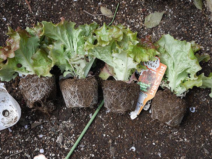 サニーレタスの苗を4個をプランターに植えた。2020年-2.jpg