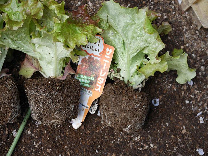 サニーレタスの苗を4個をプランターに植えた。2020年-4.jpg