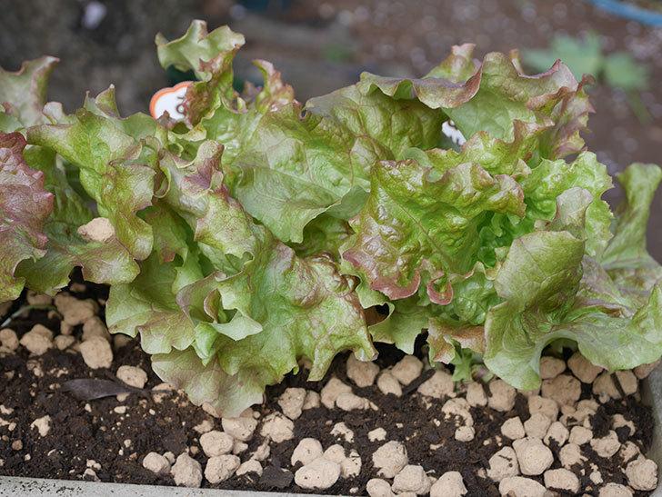 サニーレタスの苗を4個をプランターに植えた。2020年-6.jpg