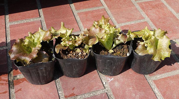 サニーレタスの苗を70円で4個買って来た。2016年-1.jpg