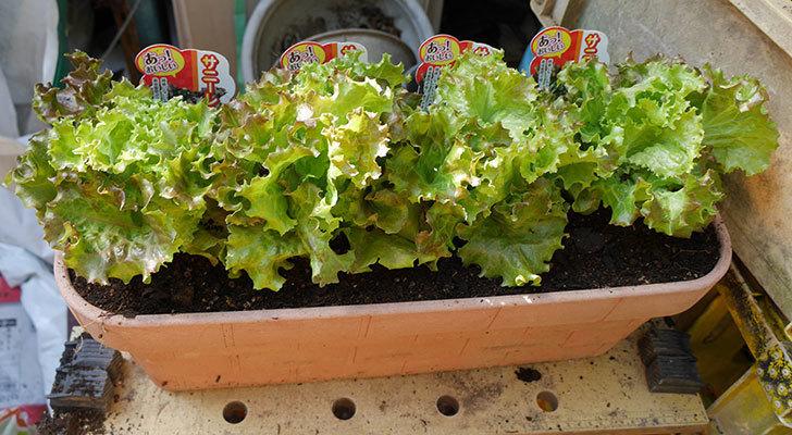 サニーレタスの苗をプランターに植えた。2018年-1.jpg