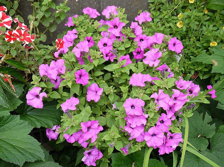 サフィニアマックス-グレープの花がたくさん咲いた1.jpg