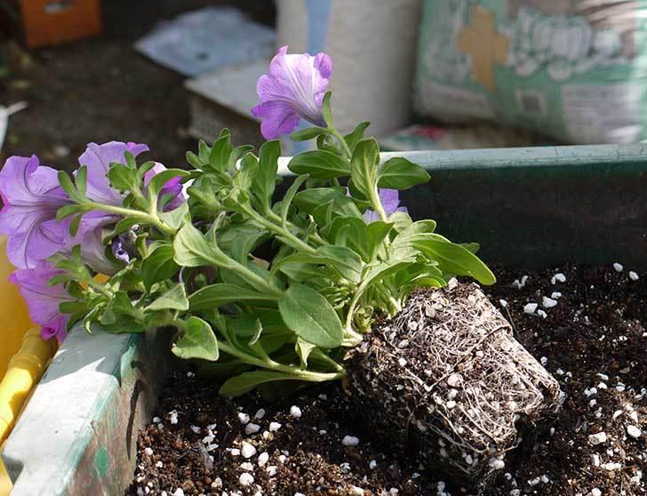 サフィニアマックス-グレープを鉢に植えた2.jpg