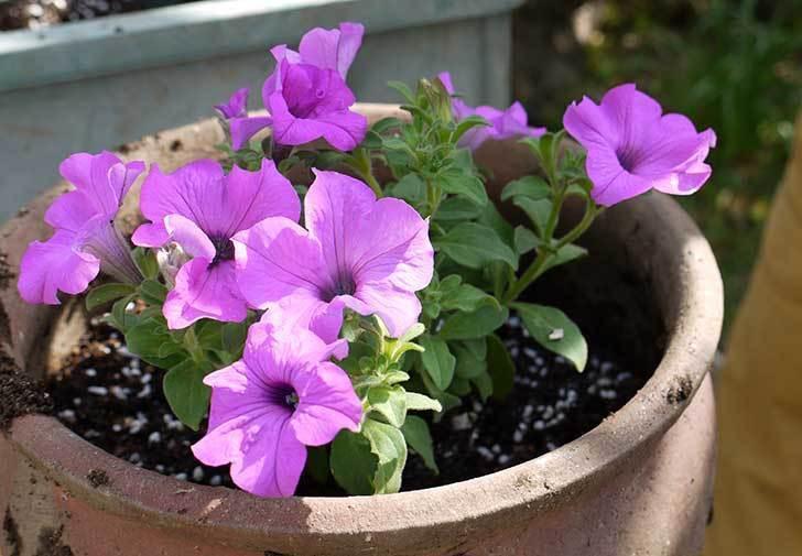 サフィニアマックス-グレープを鉢に植えた3.jpg