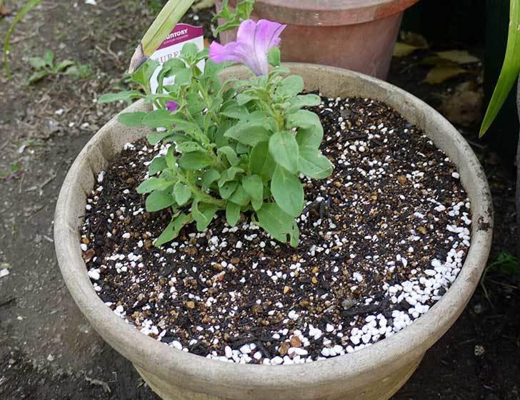 サフィニアマックス-グレープを鉢に植えた4.jpg