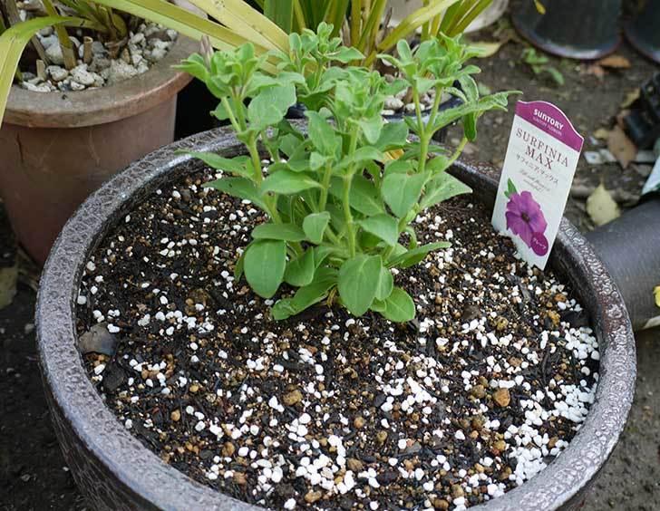 サフィニアマックス-グレープを鉢に植えた6.jpg