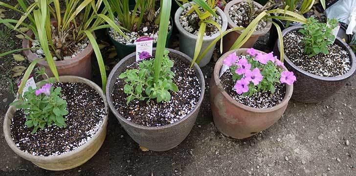 サフィニアマックス-グレープを鉢に植えた7.jpg