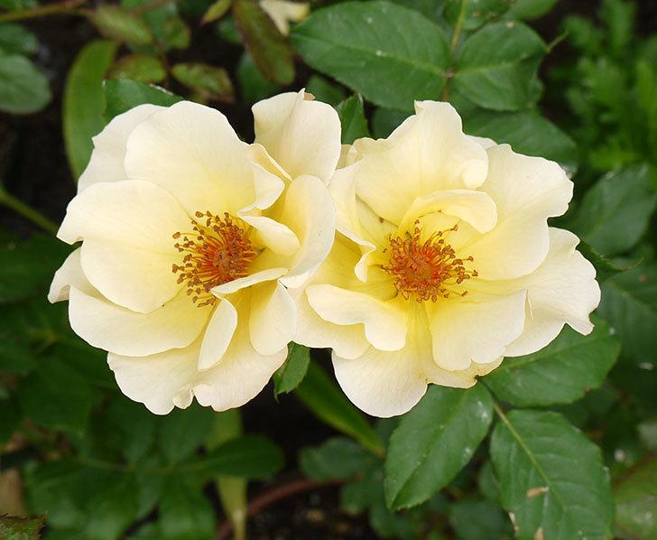 サプライズ(木立バラ)が2個咲いた。2016年-1.jpg