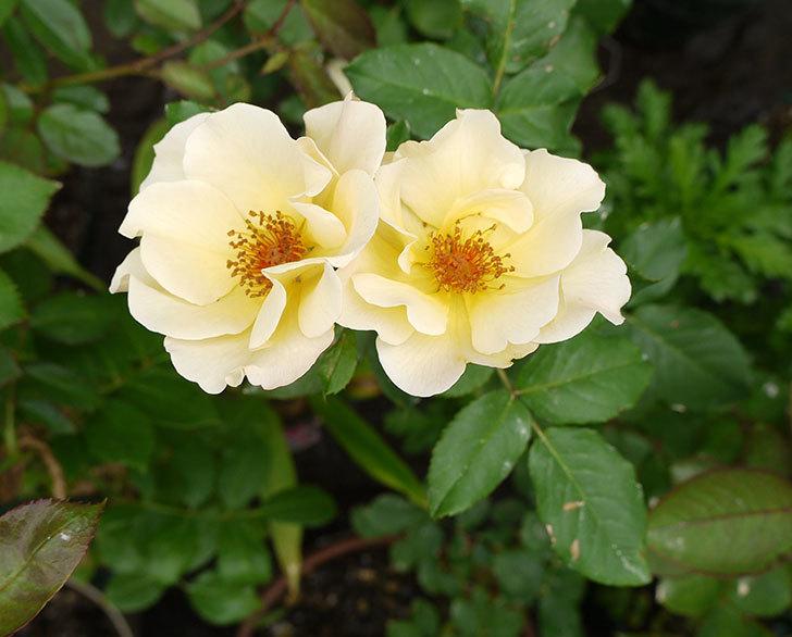 サプライズ(木立バラ)が2個咲いた。2016年-2.jpg