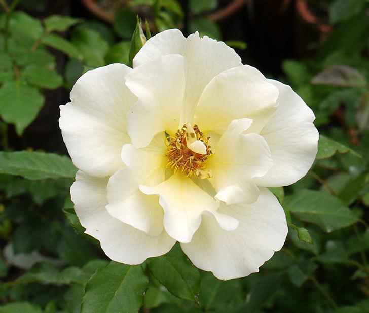 サプライズ(木立バラ)が2個咲いた。2016年-3.jpg