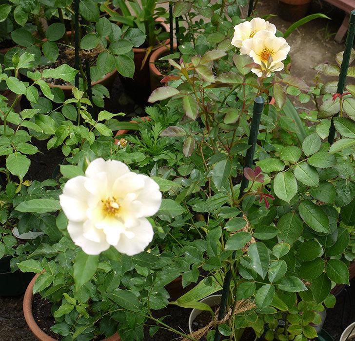 サプライズ(木立バラ)が2個咲いた。2016年-4.jpg