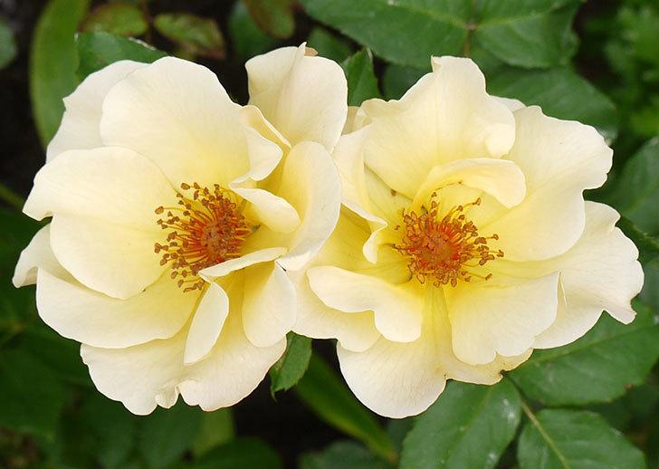サプライズ(木立バラ)が2個咲いた。2016年-5.jpg