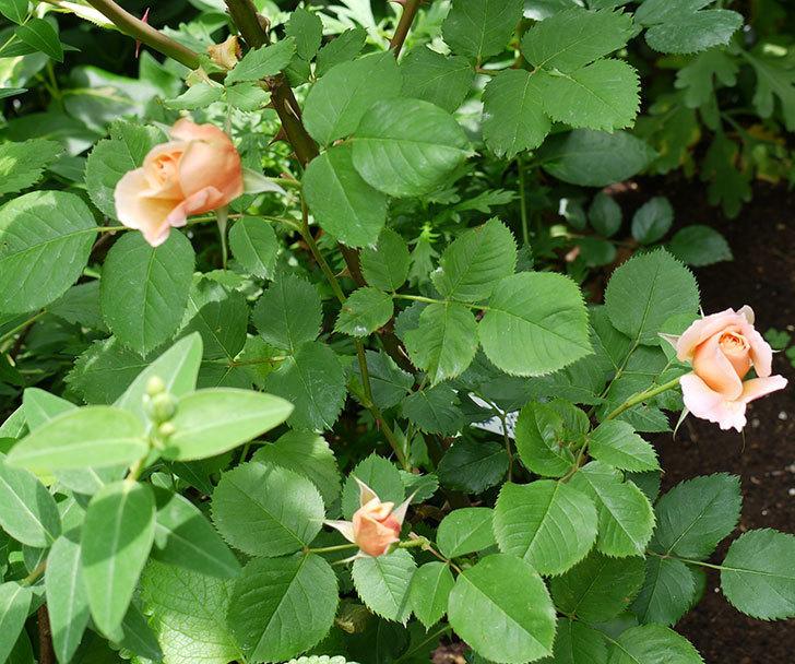 サプライズ(木立バラ)がたくさん咲いた。2017年-13.jpg