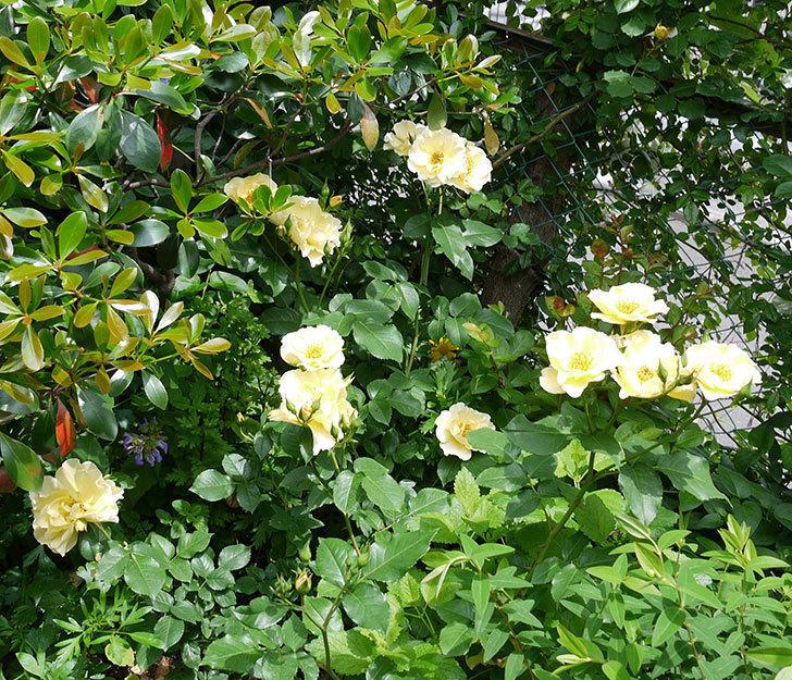 サプライズ(木立バラ)がたくさん咲いた。2017年-2.jpg