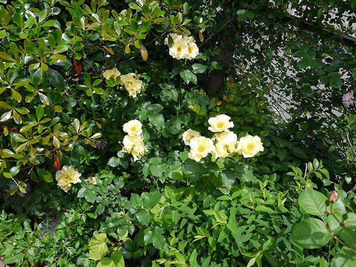 サプライズ(木立バラ)がたくさん咲いた。2017年-7.jpg