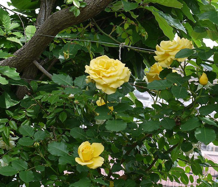 サプライズ(木立バラ)がたくさん咲いた。2017年-8.jpg