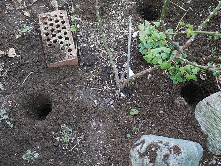 サプライズ(木立バラ)に寒肥を施した。2019年-1.jpg