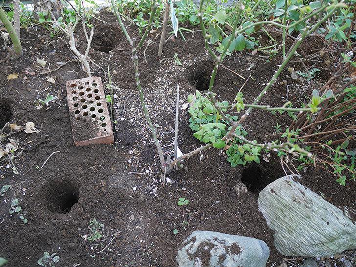 サプライズ(木立バラ)に寒肥を施した。2019年-2.jpg