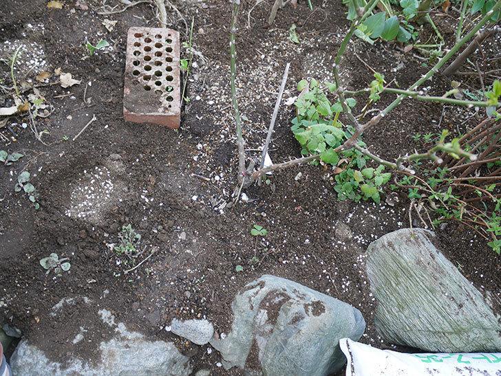 サプライズ(木立バラ)に寒肥を施した。2019年-3.jpg