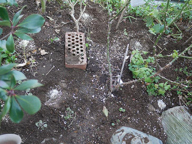 サプライズ(木立バラ)に寒肥を施した。2019年-4.jpg
