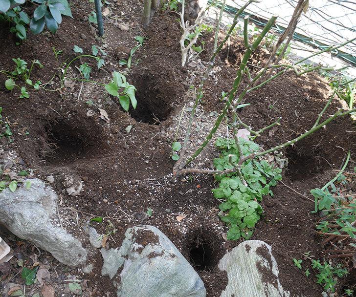 サプライズ(木立バラ)に寒肥を施した。2020年-1.jpg