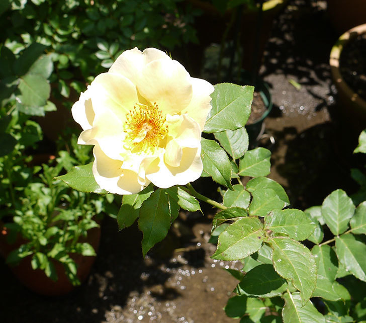 サプライズ(木立バラ)の2個目の花が咲いた。2016年-1.jpg
