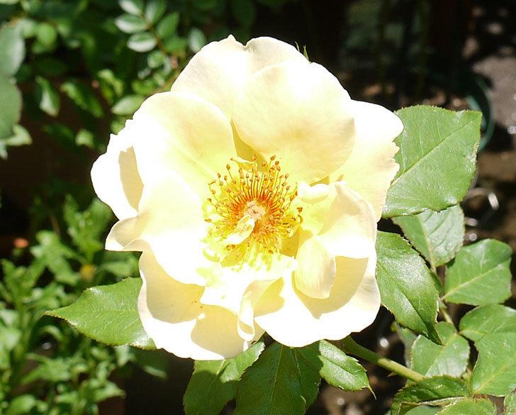 サプライズ(木立バラ)の2個目の花が咲いた。2016年-2.jpg