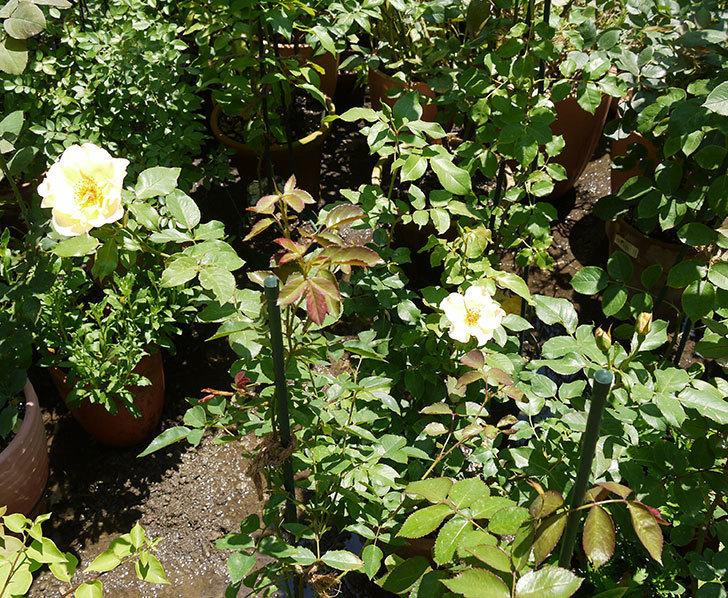 サプライズ(木立バラ)の2個目の花が咲いた。2016年-3.jpg