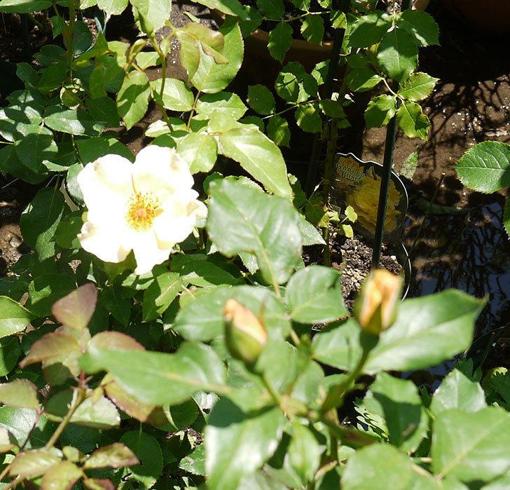 サプライズ(木立バラ)の2個目の花が咲いた。2016年-4.jpg