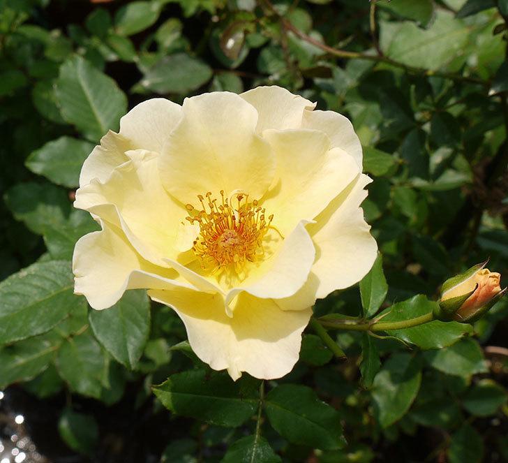 サプライズ(木立バラ)の2番花がまた咲いた。2016年-1.jpg