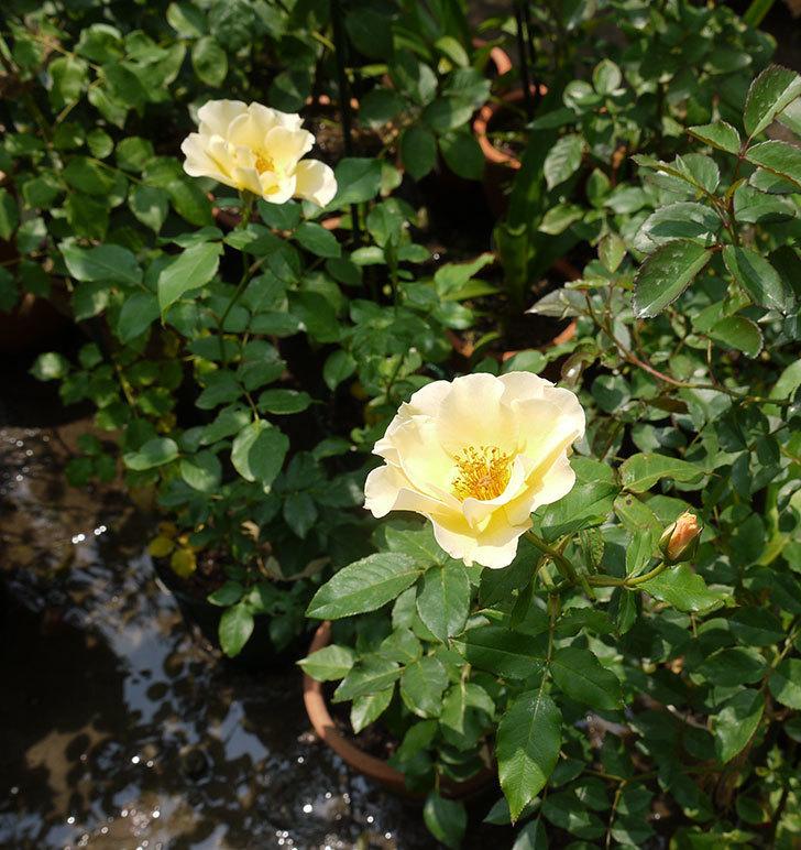 サプライズ(木立バラ)の2番花がまた咲いた。2016年-2.jpg