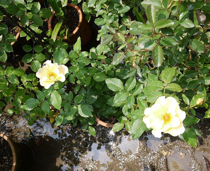 サプライズ(木立バラ)の2番花がまた咲いた。2016年-3.jpg