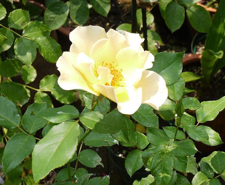 サプライズ(木立バラ)の2番花がまた咲いた。2016年-4.jpg