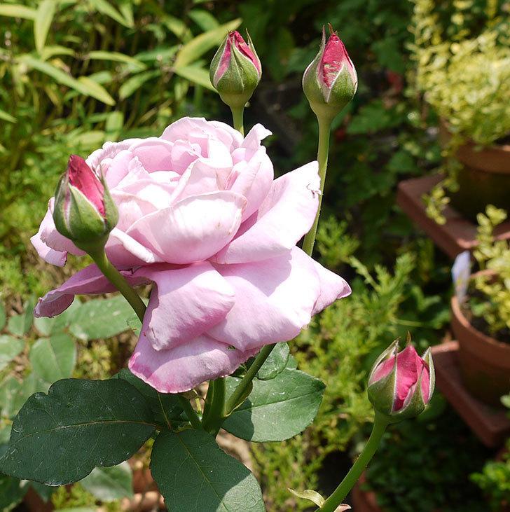 サプライズ(木立バラ)の2番花がまた咲いた。2016年-5.jpg