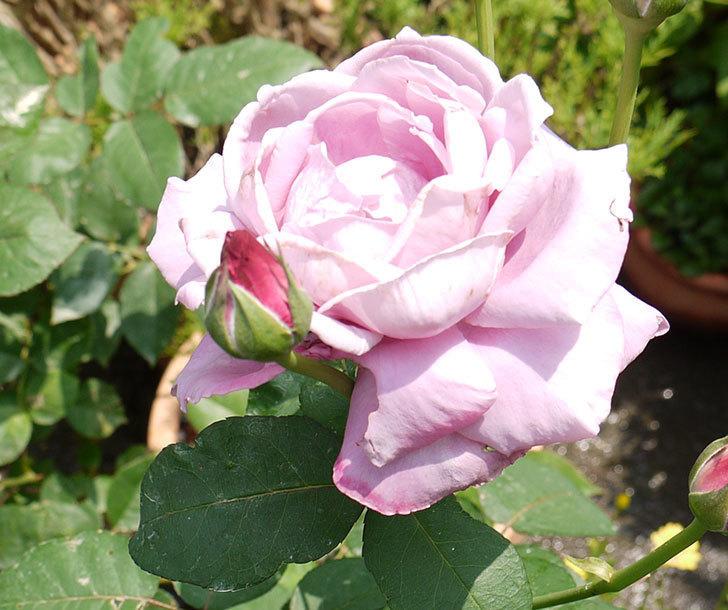 サプライズ(木立バラ)の2番花がまた咲いた。2016年-6.jpg