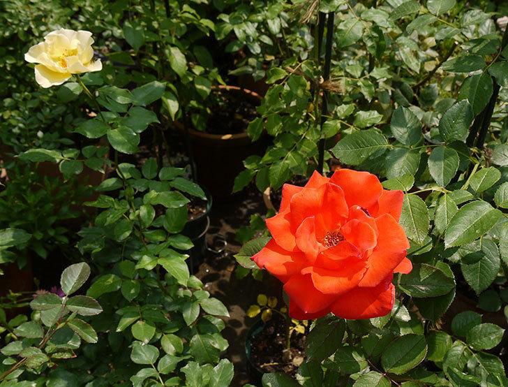 サプライズ(木立バラ)の2番花がまた咲いた。2016年-8.jpg