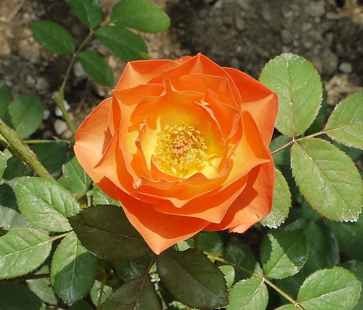 サプライズ(木立バラ)の2番花がまた咲いた。2016年-9.jpg