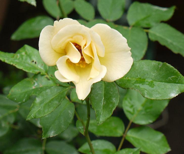 サプライズ(木立バラ)の2番花が今日も咲いた。2016年-1.jpg