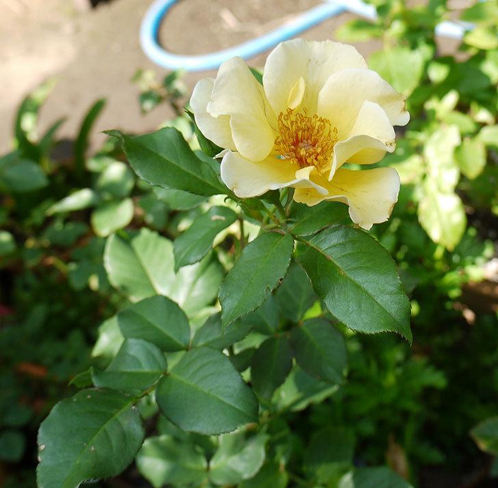 サプライズ(木立バラ)の2番花が咲いた。2016年-3.jpg