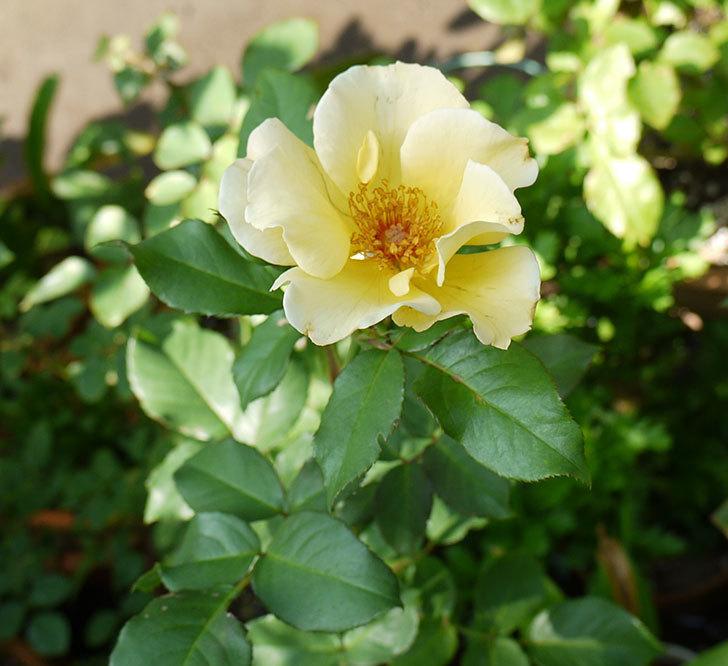 サプライズ(木立バラ)の2番花が咲いた。2016年-4.jpg