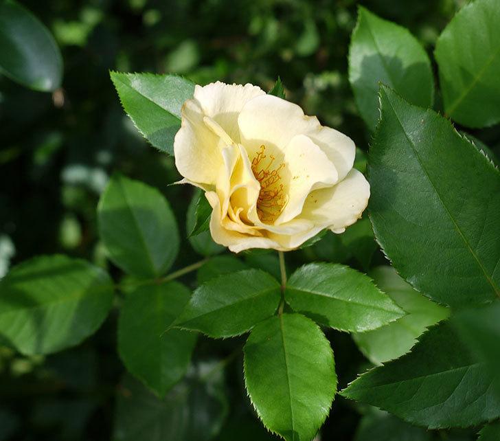 サプライズ(木立バラ)の2番花が咲いた。2017年-1.jpg