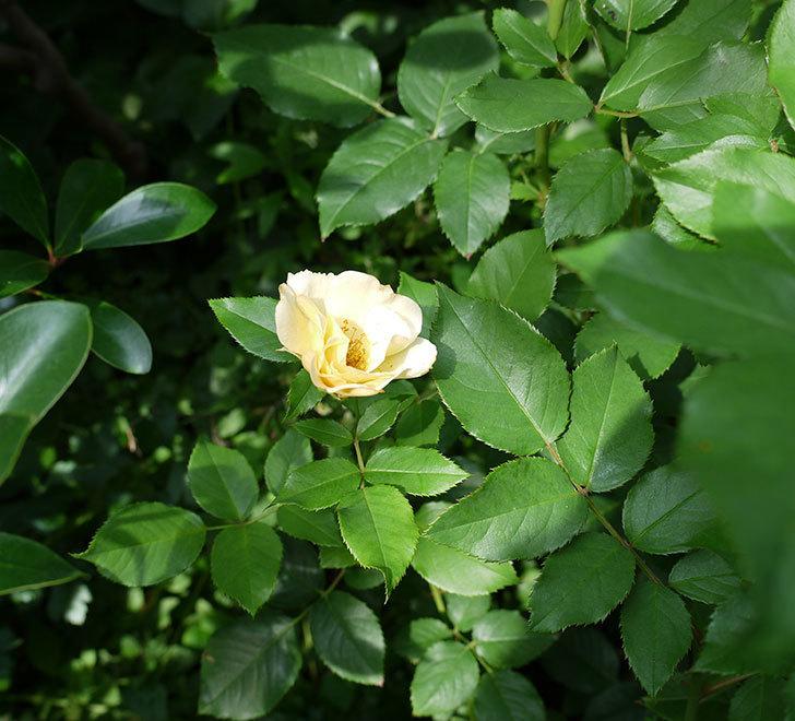サプライズ(木立バラ)の2番花が咲いた。2017年-3.jpg